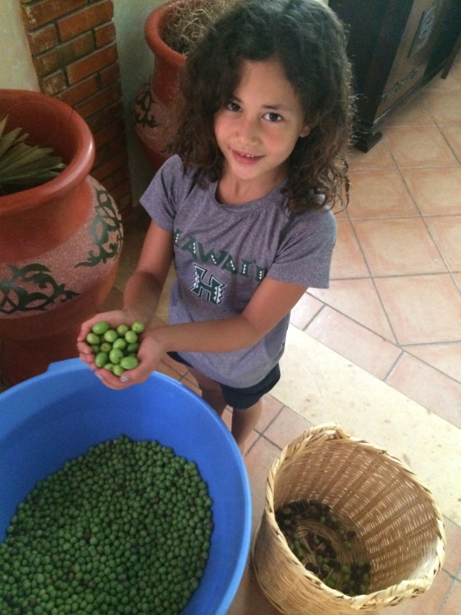 Fresh picked olives!