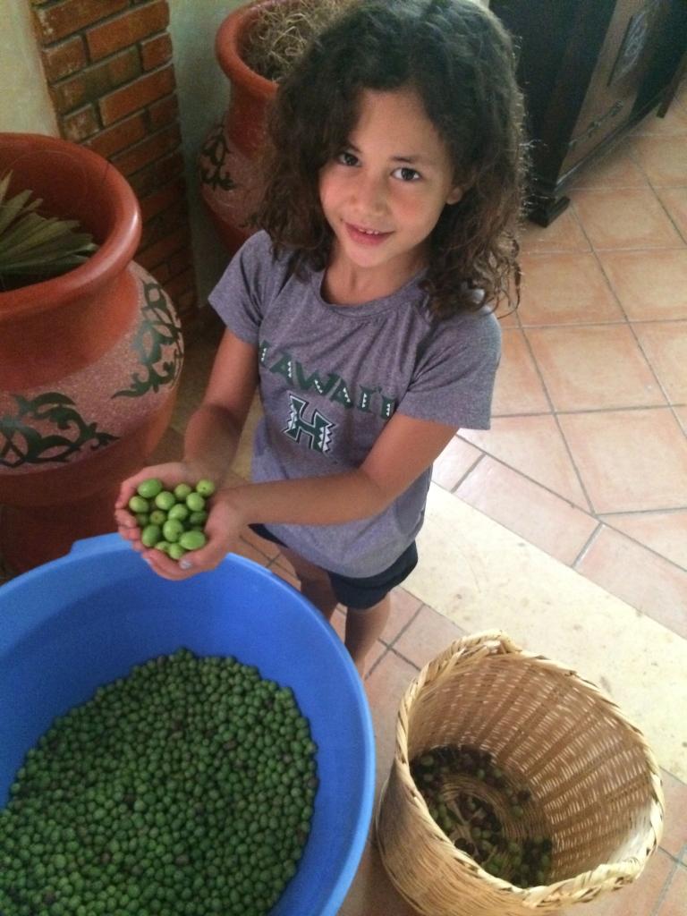 Fresh picked olives!